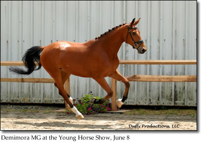 Demimora MG at the Young Horse Show, June 8